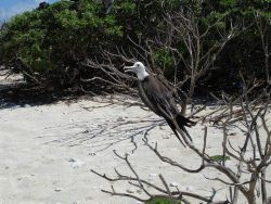 Juvenile frigate bird. Photo