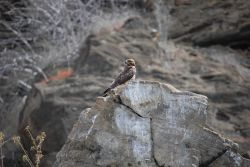 Galapagos hawk. Photo