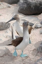 Courting blue-footed boobies. Photo