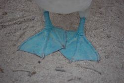 The blue feet of a blue-footed booby. Photo