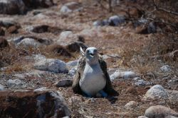 A blue-footed booby on its nest. Photo