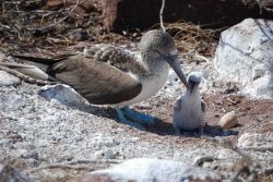 A blue-footed booby and its chick. Photo