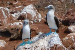 Blue-footed booby pair. Photo