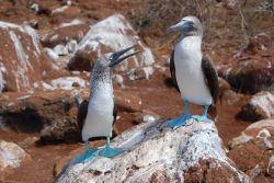 Blue-footed booby pair Photo