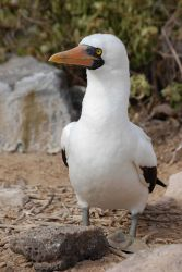 A close-up of a Nazca booby. Photo