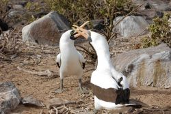 A pair of Nazca boobies in a mating dance. Photo