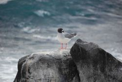 Swallow-tailed gull perched on a rock overlooking the sea. Photo