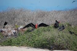 Male great frigatebirds. Photo