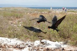 Food fight - great frigatebirds stealing food from booby. Photo