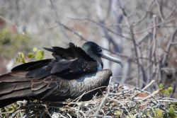 Juvenile magnificent frigatebird. Photo