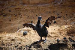 Flightless cormorant drying wings. Photo