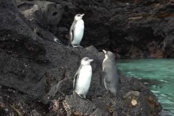 Galapagos penguins. Photo