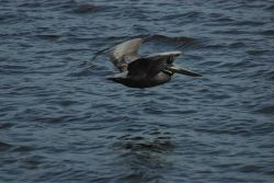 Brown pelican skimming the water Photo
