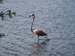 Flamingo wading in a Bonaire lagoon Photo