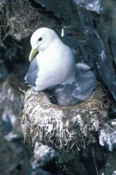 Black-legged kittiwake with chick Photo