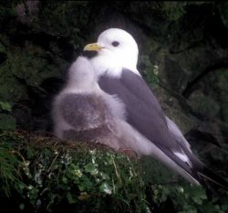 Kittiwake and large chick Photo