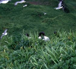 Murres on ridge Photo