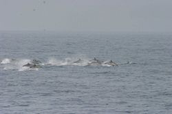 A pod of dolphin chasing dinner. Image