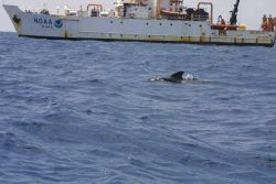 A pilot whale passing by the NOAA Ship DELAWARE II. Image