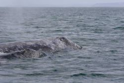 Gray whale and calf. Photo