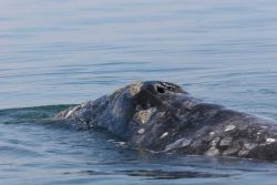 A mother gray whale. Image