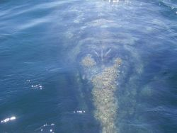 A gray whale approaching scientists' boat. Image