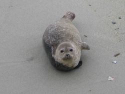 A harbor seal pup. Image