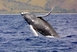 A breaching humpback whale. Image