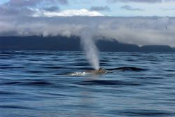 Blue whale spouting Photo