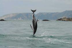 Dusky dolphin (Lagenorhynchus obscurus) Photo