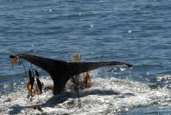 Humpback whale tail with entangled kelp Photo