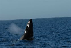 Humpback whale spu-hopping Photo