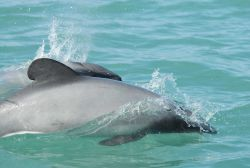 Hector's dolphin (Cephalorhynchus hectori) - the smallest of the dolphin family is found only in New Zealand waters Photo