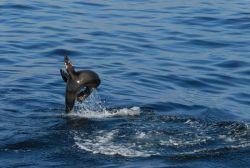 California sea lion putting on an acrobatic display Photo