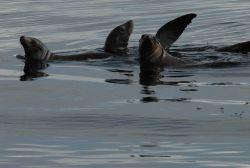 California sea lion Photo