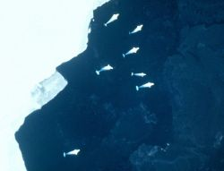 Beluga whales at the edge of a large ice floe. Photo