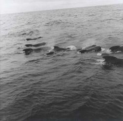 A pod of pilot whales Photo