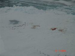 Polar bear tracks and site of seal kill on sea ice Photo