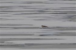 Polar bear prey - seal on sea ice Photo