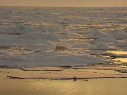 Polar bear on sea ice Photo