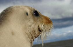 Bearded seal (Erignathus barbatus) Photo