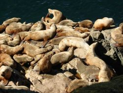 Endangered Steller sea lion Photo