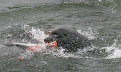 California sea lion eating a salmonid Photo