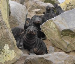 Northern fur seal pups Photo
