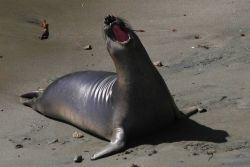 An elephant seal pup. Image