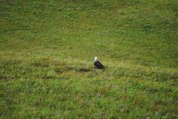 Bald eagle in the grass on the lower slopes of Unalaska Island Photo