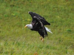 Bald eagle rising up seemingly vertically out of grass Photo