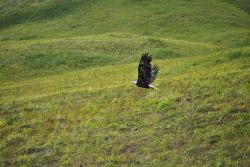 Magnificent view of bald eagle in full flight Photo