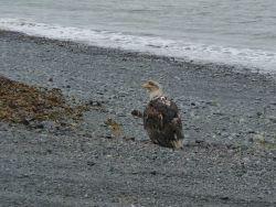 Bedraggled immature bald eagle on a cobble beach Photo