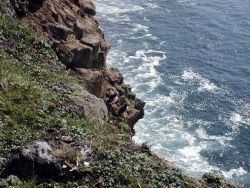 Horned puffins Photo